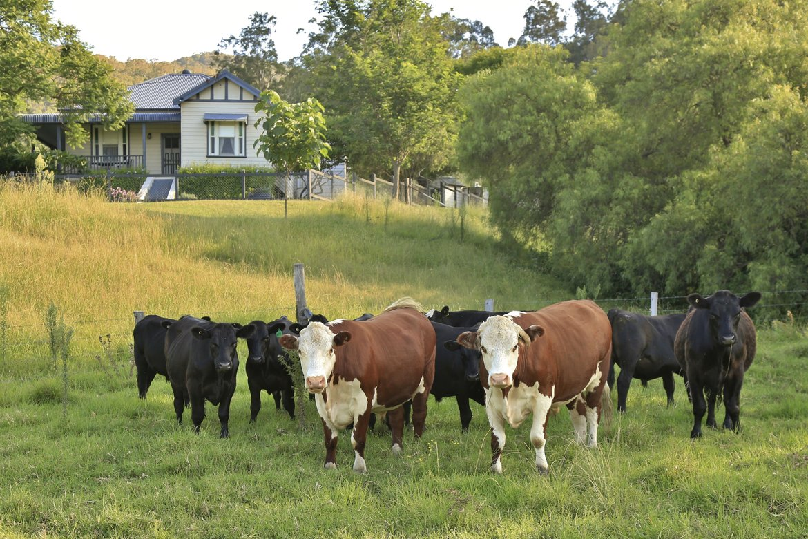Cows at Old Hillside